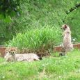 more cub watchfulness