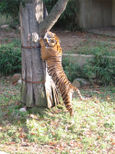 tiger stretching
