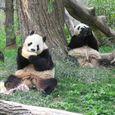 panda nosh