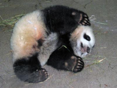 Pandacub3